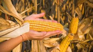 Maize, corn